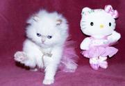 мужчины и женщины персидского котенка готовы к новому дому