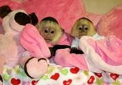 Подгузники обученных обезьян капуцинов для ребенка прекрасные семьи.