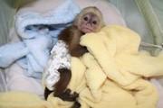 2 Капуцинов обезьяна