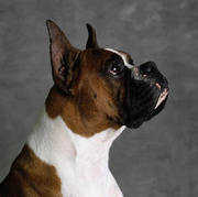 приобретy щенка боксера или ротвеллера.