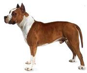 Куплю щенка американского питбультерьера