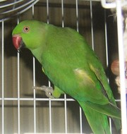 самкa ожерелового попугая
